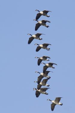 Canada Geese in Flight by Hal Beral