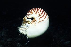 Chambered Nautilus by Hal Beral