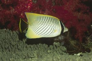 Chevroned Butterflyfish by Hal Beral