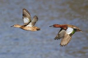 Cinnamon Teal Drake and Hen Flying by Hal Beral