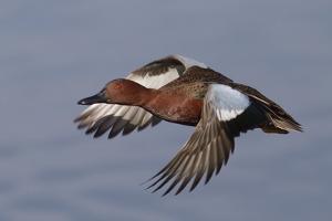 Cinnamon Teal Drake in Flight by Hal Beral