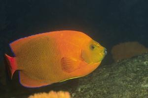 Clarion Angelfish by Hal Beral