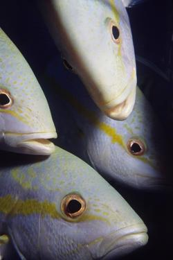 Closeup of Yellowtail Snappers by Hal Beral