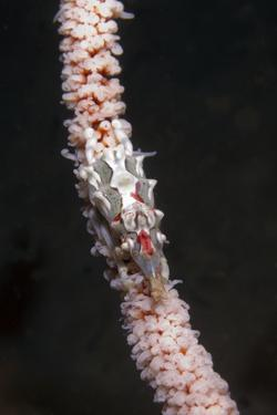 Conical Spider Crab by Hal Beral