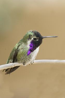 Costa's Hummingbird by Hal Beral