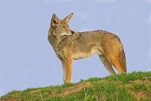 Coyote by Hal Beral