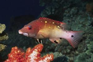 Diana's Hogfish by Hal Beral