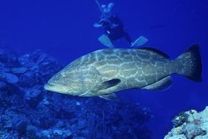 Diver with Black Grouper by Hal Beral