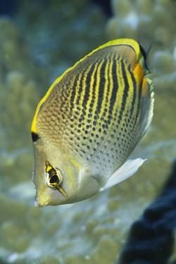 Dot & Dash Butterflyfish by Hal Beral