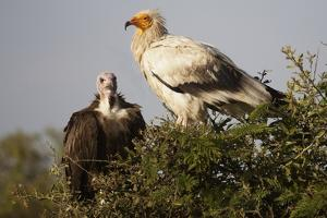 Egyptain and Hooded Vultures by Hal Beral