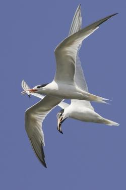 Elegnat Terns in Flight with Fish in their Bills by Hal Beral