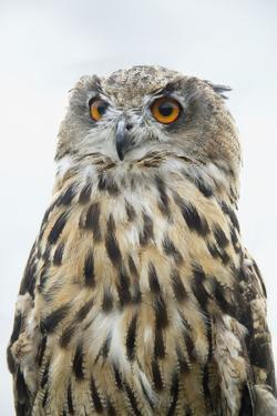 Eurasian Eagle-Owl Close-Up by Hal Beral