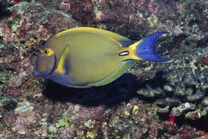 Eyestripe Surgeonfish by Hal Beral