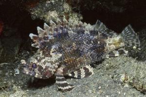 False Scorpionfish by Hal Beral