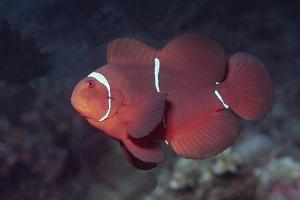 Female Spinecheek Anemonefish by Hal Beral
