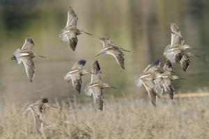 Flock of Short-Billed Dowitchers in Flight by Hal Beral