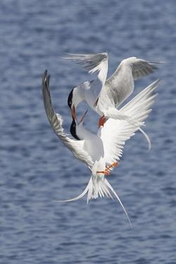 Forster's Terns Fight in Midair by Hal Beral