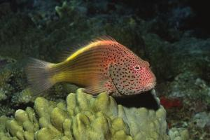 Freckled Hawfish by Hal Beral