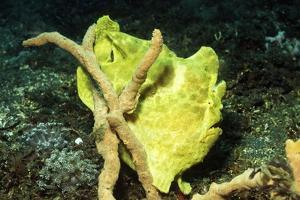 Giant Frogfish by Hal Beral