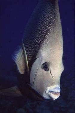 Gray Angelfish Closeup by Hal Beral