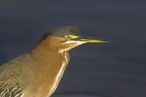 Green Heron Closeup by Hal Beral
