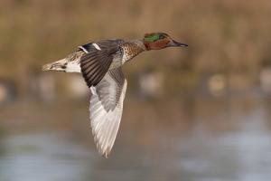 Green-Winged Teal Drake in Flight by Hal Beral
