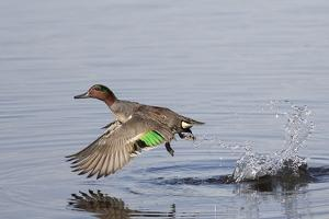 Green-Winged Teal Drakes Takes Off by Hal Beral