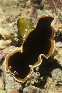 Hancock's Flatworm by Hal Beral