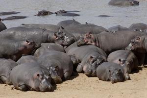 Hippopotamus Herd Resting by Hal Beral