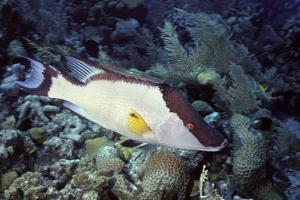 Hogfish by Hal Beral