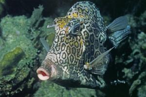Honeycomb Cowfish by Hal Beral