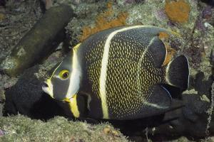 Intermediate Form French Angelfish by Hal Beral