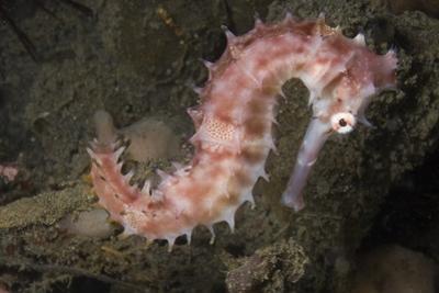 Juvenile Thorny Seahorse