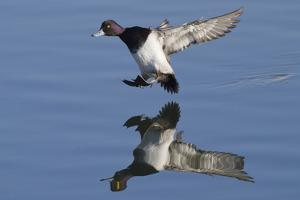 Lesser Scaup Drakes Landing by Hal Beral