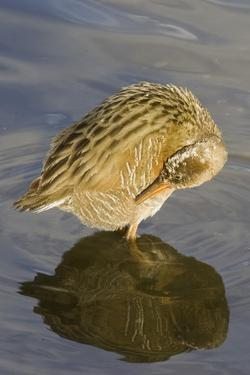 Light-Footed Clapper Rail Grooming by Hal Beral