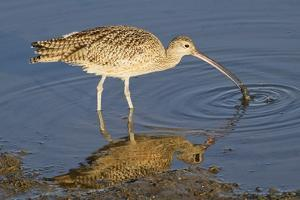 Long-Billed Curlew Catchs a Clam by Hal Beral