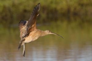 Long-Billed Curlew Landing by Hal Beral