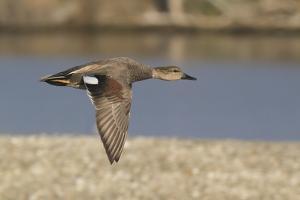 Male Gadwall Duck in Flight by Hal Beral
