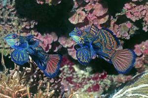Mandarinfish Male and Female by Hal Beral