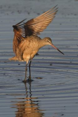 Marbled Godwit with Raised Wings by Hal Beral