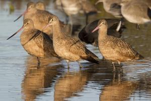 Marbled Godwits by Hal Beral