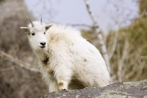 Mountain Goat Kid by Hal Beral