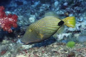 Orange-Lined Triggerfish by Hal Beral