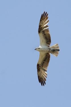 Osprey Flying by Hal Beral