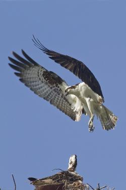 Osprey Landing at its Nest by Hal Beral