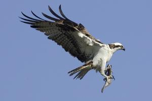 Osprey Landing with Fish in it's Talons by Hal Beral
