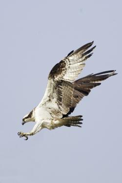 Osprey with Extended Talons by Hal Beral