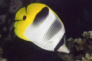 Pacific Double-Saddled Butterflyfish by Hal Beral