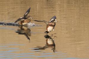 Pair of American Wigeons Landing by Hal Beral