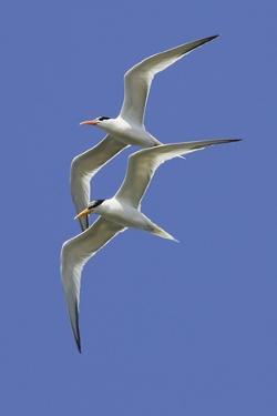 Pair of Elegant Terns in Fight by Hal Beral